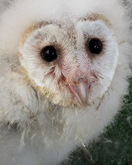 Seven weeks old (billnbenj) Tags: barrow cumbria owl barnowl babybarnowl owlet 7weeksold raptor birdofprey