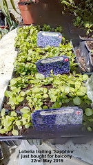 Lobelia trailing 'Sapphire' just bought for balcony 22nd May 2019 (D@viD_2.011) Tags: lobelia trailing sapphire just bought for balcony 22nd may 2019
