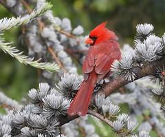 ~Northern Cardinal~ (RitaK.) Tags: bird wildbird northerncardinal northerncardinalmale birding nature birdwatching nikon