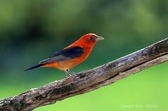 Bird_2019_05_19_2371sm (karenpatterson) Tags: scarlettanager pirangaolivacea songbird redbird avian nature
