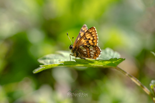 Duke of Burgundy | Hamearis lucina