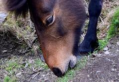 Pony (rustyruth1959) Tags: mane hoof leg nature grass ground fur outdoor mouth brown eyelash eye face animal pony willapark boscastle kernow cornwall england uk tamron16300mm nikond5600 nikon
