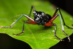 Tiger Beetle (Cicindelinae) (JulGlouton) Tags: tiger beetle cicindelinae coleoptera carabidae cicindèle insect insecte invertebrate solomonislands tetepare rainforest biodiversity endangered