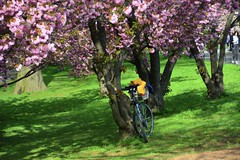 Cherry blossoms at the Central Park reservoir (jomondesir) Tags: nyc newyork beauty nature beautiful centralparkreservoir centralpark jackiekennedyonassisreservoir beautifulday pinkcherryblossoms cherryblossoms springtime spring bike pink