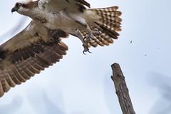 Osprey (Pandion haliaetus) lift-off, Oathill Lake Dartmouth Nova Scotia (internat) Tags: 2019 canada novascotia ns dartmouth oathilllake olcs bird osprey canon100400 eosm5 luminar