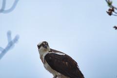 Osprey (Pandion haliaetus), Oathill Lake Dartmouth Nova Scotia (internat) Tags: 2019 canada novascotia ns dartmouth oathilllake olcs bird osprey canon100400 eosm5 luminar