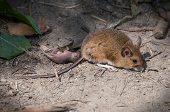 Wood Mouse Wonder (PenparcauBoy) Tags: mouse birth baby woodmouse country mammal rodent woodland young