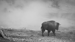 Walk Through The Hot Springs (janeseibertphotography) Tags: bison buffalo animal photography animalphotography landscapephotography nature naturephotography yellowstone nationalpark yellowstonenationalpark mysterious fog weather blackandwhite black white blackandwhitephotography