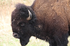 """A """"dirty"""" buffalo inside Custer State Park in South Dakota (Hazboy) Tags: hazboy hazboy1 south dakota buffalo bison custer state park animals april 2019 west western us usa america"""