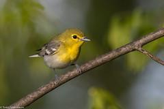 CA3I0969-Yellow-throated Vireo (tfells) Tags: yellowthroatedvireo bird passerine nature wildlife newjersey baldpatemountain mercer vireoflavifrons