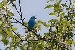 Indigo Bunting Calling (mlello) Tags: d500 bunting indigobunting songbird migration springmigration