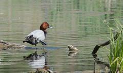 Красноголовый нырок / Aythya ferina / Pochard (SvetlanaJessy) Tags: природа птицы красноголовыйнырок pochard aythyaferina bird birds