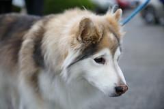 IMG_9089 (i_am_lee_sam) Tags: 2019 care strut for strays charity dog walk skokie il