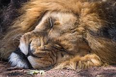 Lion sleeping with a grimace (Tambako the Jaguar) Tags: lion big wild cat male close portrait face funny grimace annoyed sleeping tired lying closeup mane sunny kevinrichardsonwildlifesanctuary southafrica nikon d5