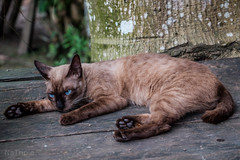 (zwierzory) Tags: borneo kinabatangan kinabatanganriver maleysia malezja sabah animal cat cats sukauriverhomestay