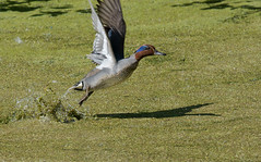 Чирок-свистунок (SvetlanaJessy) Tags: природа птицы bird birds