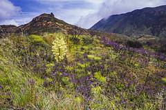 The Hills are Alive! (wanderingnome) Tags: wildflowers yerbabuenaroad santamonicamountains venturacounty california may 2019 wanderingnomez westlakevillage unitedstatesofamerica