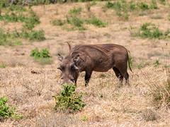 Common Warthog, Ngorongoro, Tanzania (Amdelsur) Tags: tanzanie phacochèrecommun continentsetpays caldeiradungorongoro afrique africa commonwarthog ngorongorocaldera phacochoerusafricanus tz tza tanzania régiondarusha