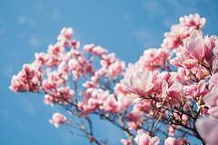 powerful magnolia (Tafelzwerk) Tags: magnolien magnolia flower tree baum pflanze himmel sky rosa frühling spring fuji xt2 50mm blüten blätter blossom bloom natur nature bonn