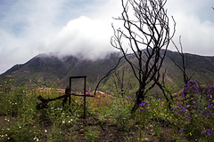 Rising From the Ashes (wanderingnome) Tags: wildflowers yerbabuenaroad santamonicamountains venturacounty california may 2019 wanderingnomez westlakevillage unitedstatesofamerica