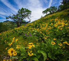 Wonderland (tripodgirl101) Tags: oregonflower balsamroot lupine