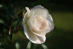 White Rose     Boyer Paris Saphir 50 mm F 3.5 (情事針寸II) Tags: rose flower old lens tessar nature bokeh