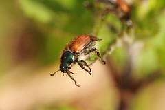 European June Beetle (jon lees) Tags: murlough countydown murloughnnr insect invertebrate irishwildlife
