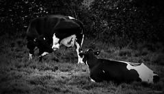 Bovines. May 2019 (Simon W. Photography) Tags: bovine cattle bostaurus ungulates cows animals farm farming farmanimal blackandwhite blackwhite monochrome monotone greyscale grayscale bw bnw nocolour nocolor lightandshadow sonyrx10iv sonyrx10m4 rx10m4 sonyuk