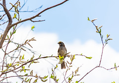 White-throated Sparrow (TheNovaScotian1991) Tags: whitethroatedsparrow nikond7100 sky clouds bird tree spring leaf alberta coldlake provincialpark hallslagoon canada