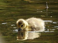 Goslings (LouisaHocking) Tags: southwales wales merthyr merthyrtydfil british wild wildlife cyfarthfa park lake nature gosling goose canadagoose canadageese baby wildfowl waterfowl bird