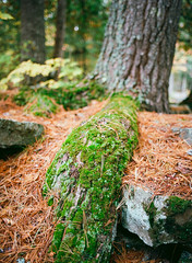 Moss and Needles (Kevin Pihlaja) Tags: upperpeninsula michigan autumn moss pineneedles nature tree forest pentax pentax645 mediumformat kodakektar100 film