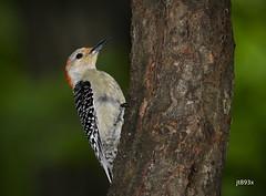 Red-bellied Woodpecker (jt893x) Tags: 150600mm bird d500 female jt893x melanerpescarolinus nikon nikond500 redbelliedwoodpecker sigma sigma150600mmf563dgoshsms woodpecker alittlebeauty coth thesunshinegroup coth5