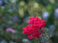P5221048 -1R (hyphy2008) Tags: pentax da 70mm f24 flower garden bokeh rose