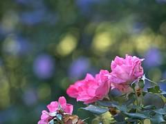 P5221046 -1R (hyphy2008) Tags: pentax da 70mm f24 flower garden bokeh rose