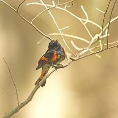 Paruline flamboyante / American Redstart (alainmaire71) Tags: oiseau bird parulidae parulidés setophagaruticilla parulineflamboyante american redstart bokeh nature quebec canada
