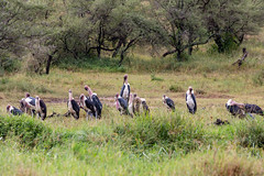 Is This The House Or the Senate? (Jill Clardy) Tags: africa tanzania vantagetravel safari 201902234b4a1240 marabou stork bird ugly five 5 serengeti national park