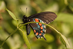 IMG_0014 Pipevine Swallowtail (oldimageshoppe) Tags: insect butterfly pipevineswallowtail male honeysucklevine spring