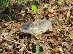 Baby groundhog May 22 2019 (brian.m.rule241) Tags: baby groundhog may 22 2019