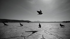 They've got wings but they walk a lot... (Michael Kalognomos) Tags: canon canoneos5dmarkiii photography ef1635f4lisusm bird pigeon wings landscape greece athens islands cinematography shadows sea sun sky clouds light streetstories streetphotography seashore blackandwhite bw horizon