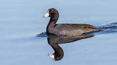 American Coot (Gary R Rogers) Tags: duck americancoot water black blue bird mirrorreflection furnhill redeye