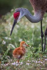 Watchful parent :) (sandhill crane) (hanulkar) Tags: animal wildlifephotography birdphotography wildlife wild birds bird southflorida loxahatchee everglades wetlands florida chick sandhillcrane crane