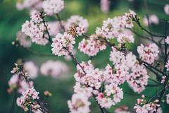 三生步道 (aelx911) Tags: a7rii a7r2 sony fe85 nature cherryblossom cherry taiwan taipei landscape flower bokeh 台灣 台北 新北市 三芝 三生步道