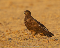 Twany Eagle (Ramakrishnan R - my experiments with light) Tags: 14tciii 14tc 1d4 2018 500mmf4 avian birding canon dnp dec december desertnationalpark incredibleindia india jaisalmer m4 miv mark4 nationalgeographic prime rajasthan westernindia aves aviafauna birdphotography birdwatching birder birds birdwatcher forest jungle myexperimentswithlight natural nature photography rajamani ramkrishnan ramkrishr ramsfotobites twitcher water waterbody wild wildbirds wildlife winter tawny eagle aquila rapax tawnyeagle aquilarapax desert national park