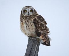 Short Ear Owl March 2018_697 (Archie Richardson) Tags: shortearowl alberta 2018