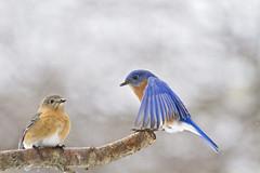 almost both of them (G_Anderson) Tags: missouri backyard birds birding spring bluebird