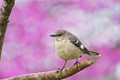 mockingbird on purple (G_Anderson) Tags: missouri backyard birds birding spring mockingbird