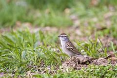 yard chipping (G_Anderson) Tags: missouri backyard birds birding spring sparrow