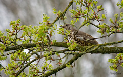 🇬🇧 Mistle thrush hiding in the tree (vickyouten) Tags: vickyouten mistlethrush thrush wildlife britishwildlife wildlifephotography nikon nikond7200 nikonphotography nikkor55300mm sankeyvalleypark sankeyvalley warrington uk