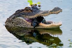 Gator and Friend (mwjw) Tags: lakeapopkawildlifedrive lawd wildlife nature mwjw markwalter nikond850 tamron150600mm gator alligator eatingturtle