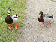 Pair of ducks (Tony Worrall) Tags: duck ducks cute birds wild wildlife nature natural nice outdoor preston lancs lancashire city welovethenorth nw northwest north update place location uk england visit area attraction open stream tour country item greatbritain britain english british gb capture buy stock sell sale outside outdoors caught photo shoot shot picture captured ilobsterit instragram